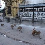 Die Affen sind los ... Swayambhunath